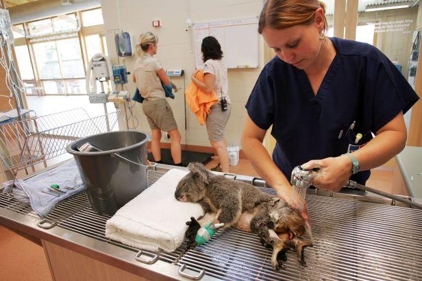 australian-wildlife-hospital-91593621-575451843df78c9b464ebe0d